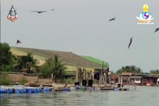 Die Seeadler genießen es, wenn sie gefüttert werden. (MCOT)