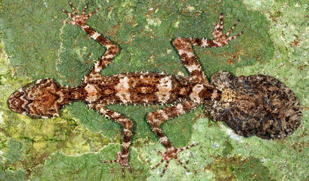 Der neue Blattschwanzgecko. (Foto: sci-news)