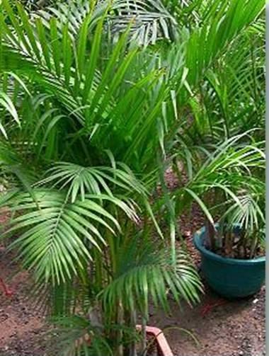 Die Areca Palme.