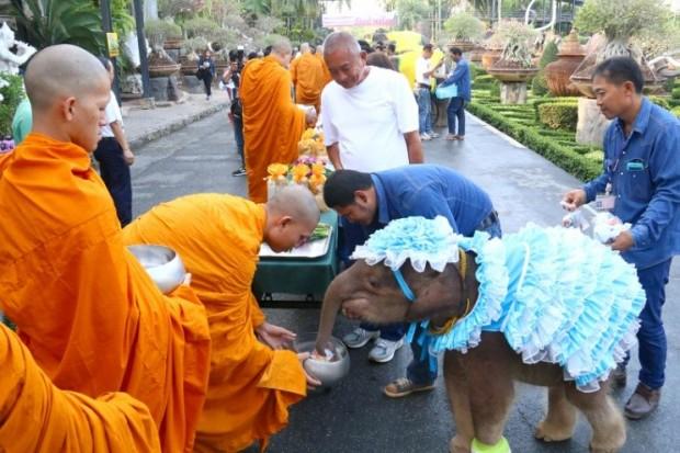 Pung JoJo, ein dreijähriges Elefantenmädchen verteilt ebenfalls Nahrungsmittel an die Mönche.