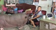Das Wldschwein hat ein Riesen-Schwein so gut untergebracht zu sein.