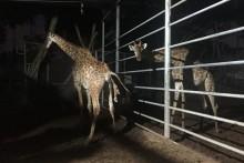 Das dritte Mitglied der Giraffenfamilie wird willkommen geheißen.