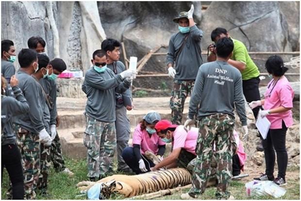Am 30. Mai 2016, begannen Beamte der Tierrettung die 147 Tiger aus dem Tiger-Tempel zu befreien. (AP Photo)