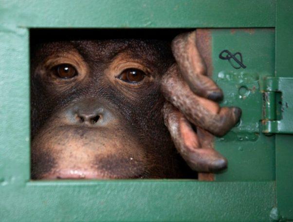 Cola, ein 10-jähriges Orangutan Mädchen, wartet in einem Käfig am Flughafen Suvarnabhumi darauf in ihre Heimat Indonesien zurück verfrachtet zu werden. (AP Photo/Sakchai Lalit)