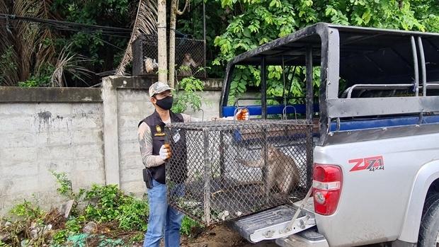 Satit Klaosangwan vom Khao Chee Chan Wild Center sagte, dass die Simians weit weg von Menschen in der Natur ausgesetzt werden.