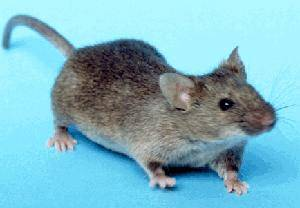 Den Mäusen ist es ziemlich egal, ob sie dick oder dünn sind. (Foto: Wikipedia)