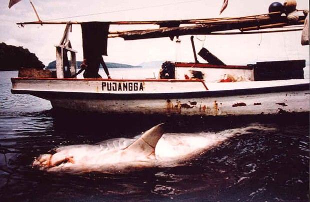 """Diese wunderbaren Tiere, die als """"Polizei der Meere"""" bekannt sind, werden wegen ihrer Flossen unnötig abgeschlachtet und ausgerottet, weil impotente Chinesen und andere Asiaten sich davon Potenz versprechen."""