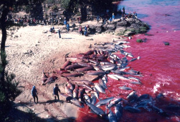 Zu Hunderten, ja zu Tausenden werden jedes Jahr Delfine in der Bucht von Taiji abgeschlachtet.
